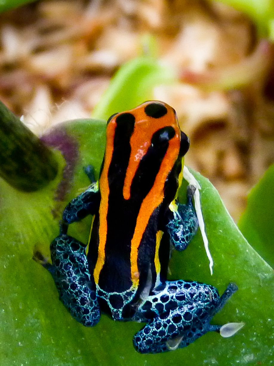 Rainbow Poison Dart Frog | New pets-Poison arrow frogs by ...