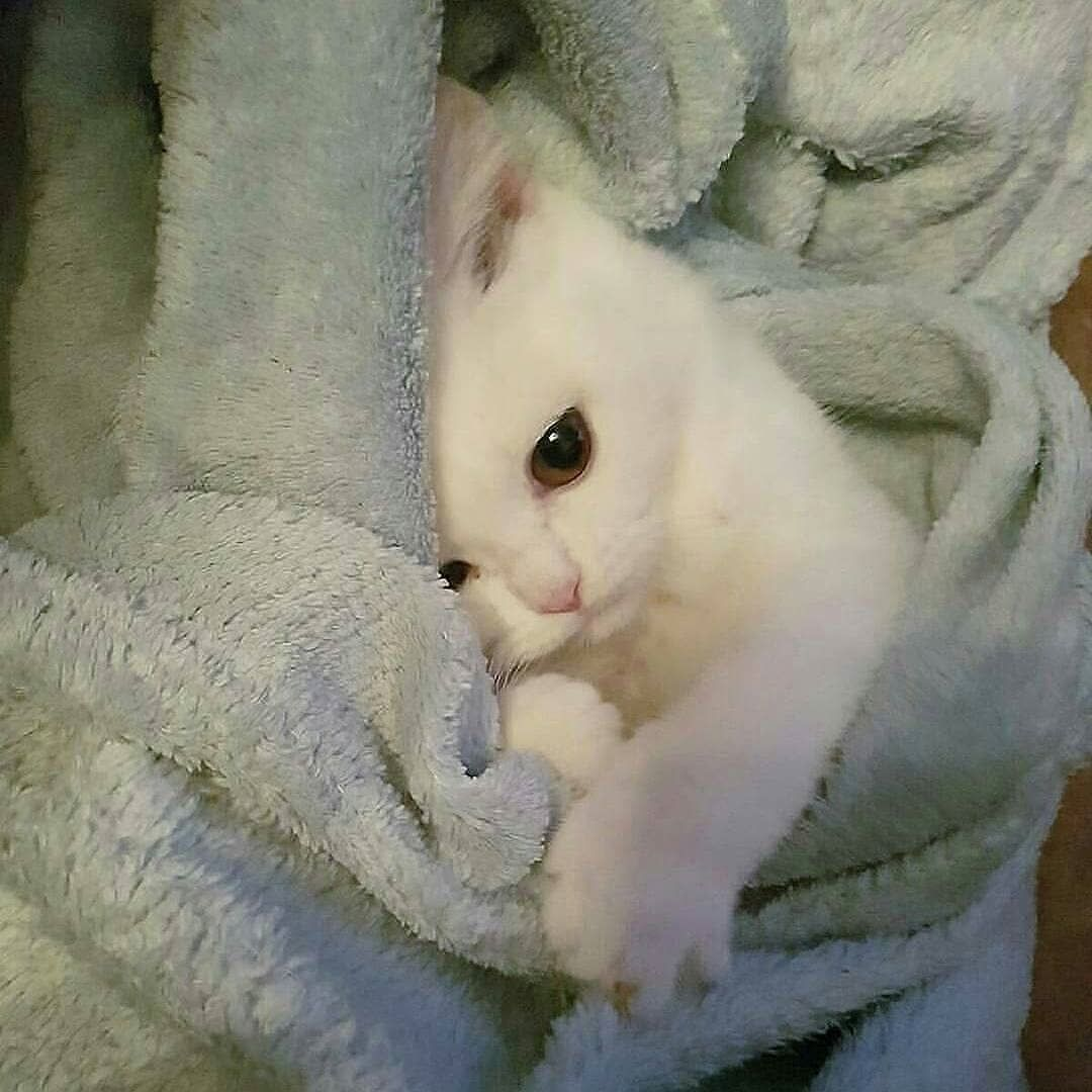 Cats And Kittens Kitten Lover Albino Cat Cats Kittens Cutest
