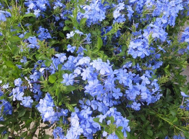 Blue Plumbago Plumbago Auriculata Is An Evergreen Shrub