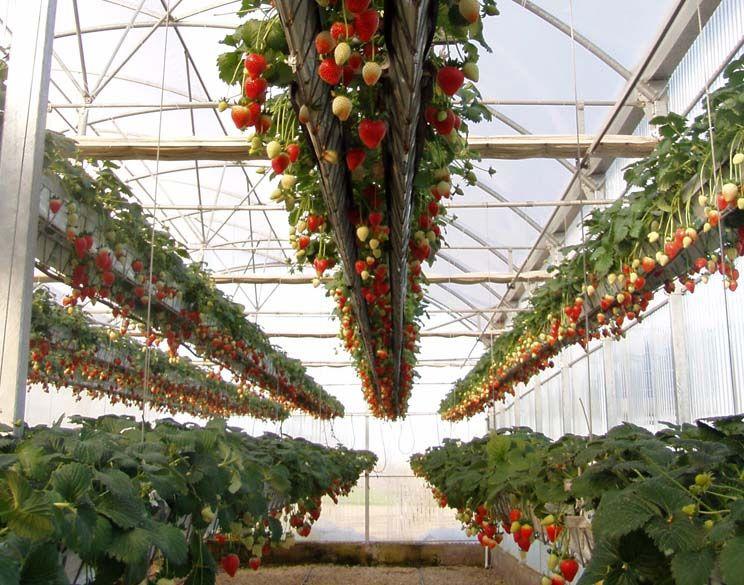 Aeroponic Strawberries On
