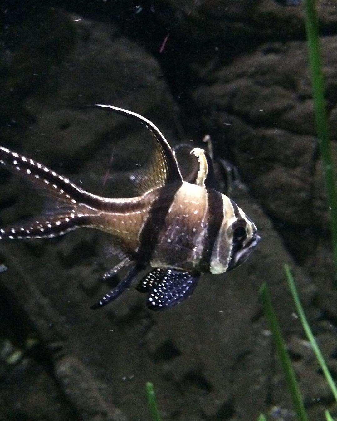 Buy fish for aquarium london - Banggai Cardinal Fish Aquarium London Fish Cardinalfish