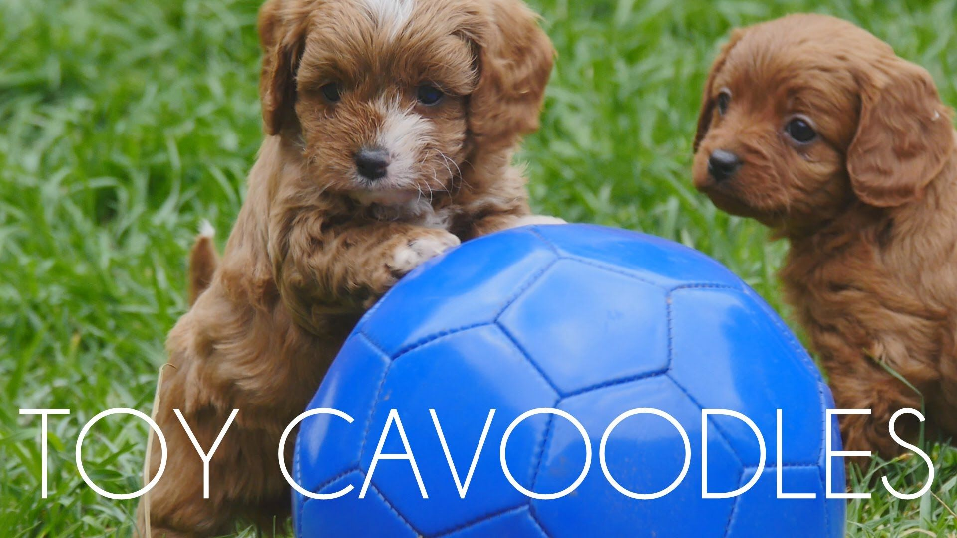 Chevromist Cavoodle Puppies May 2015 Puppies Pinterest