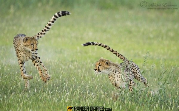 Chasing cheetahs by guide Morkel Erasmus. Two young Kalahari cheetahs chase each other around a surprisingly green Auob riverbed. Photographed in the Kgalagadi Transfronteir Park, South Africa/Botswana.