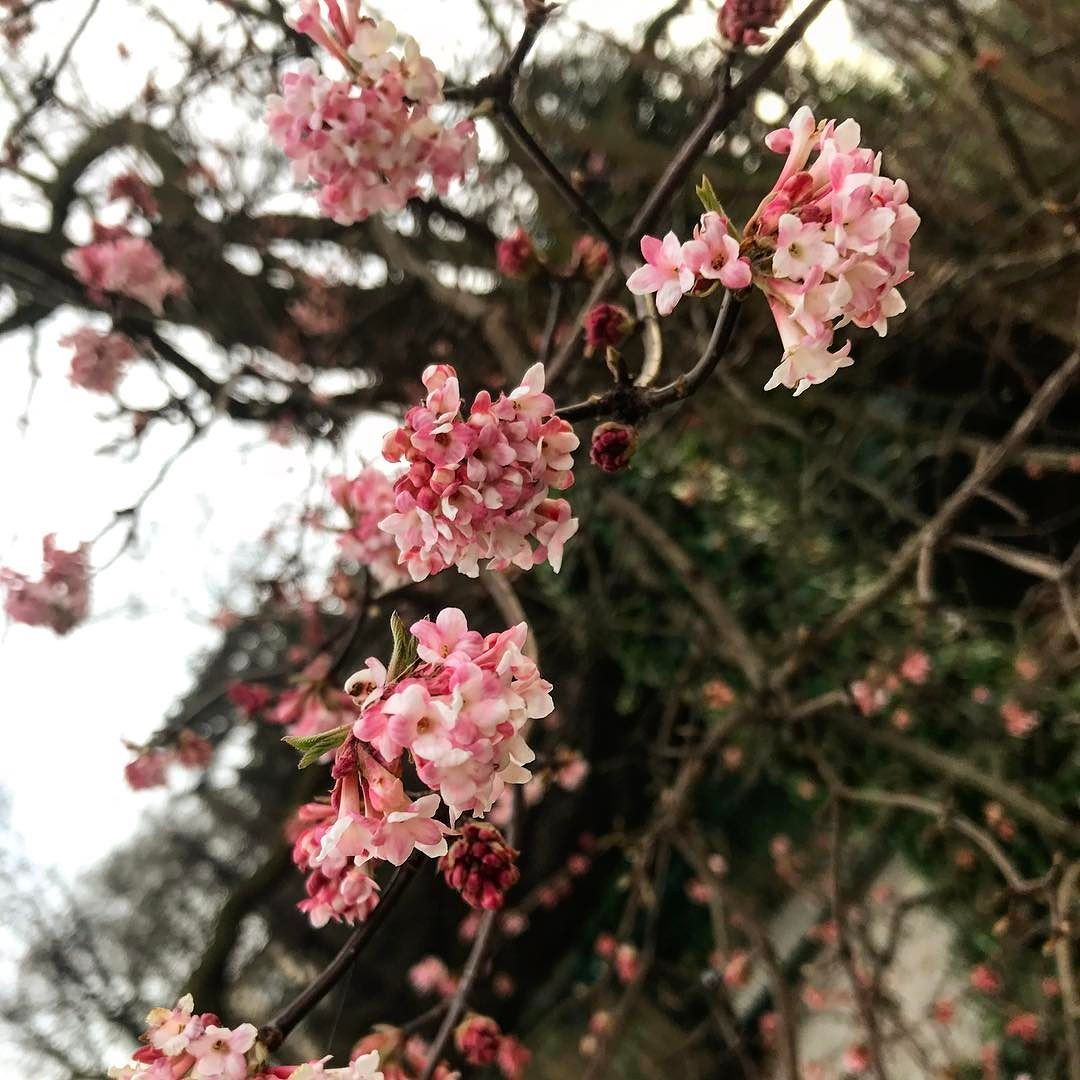 This Is Amazing In January A Cherry Blossom Tree Maybe It The Gardener Can Some Magic Tricks In The Bota Blossom Trees Travel Photography Cherry Blossom Tree