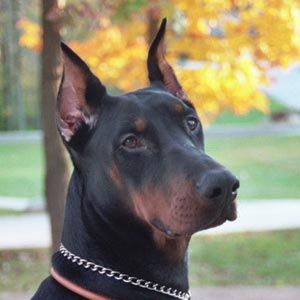 There S A Pretty Face Beautiful Dogs Doberman Pinscher
