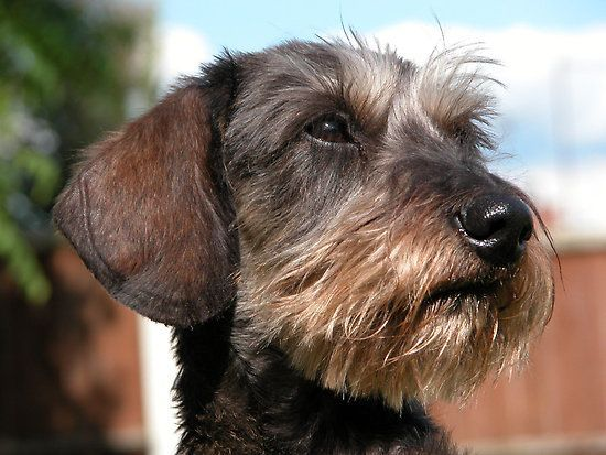 Dog Breed Standards Google Search Dachshund Wire Haired