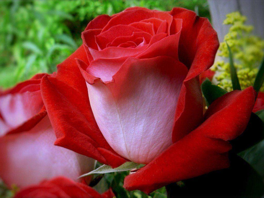 Фото самая красивая роза для любимой