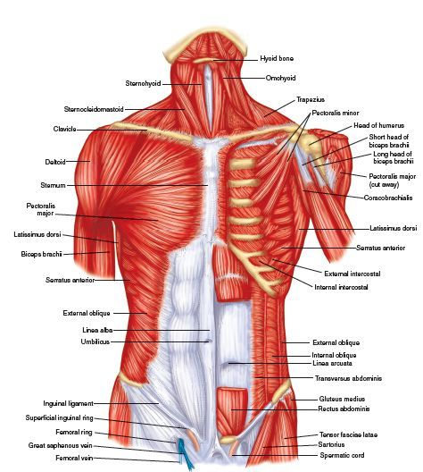 Superficial Muscles Posterior View Plate 28 Muscles Of The Trunk