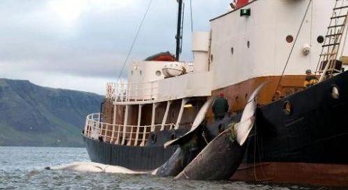 Prime Minister of Iceland: Sigmundur Davíð Gunnlaugsson: Halt the killing of all whales before the 2014 whaling season. https://www.change.org/petitions/prime-minister-of-iceland-sigmundur-dav%C3%AD%C3%B0-gunnlaugsson-halt-the-killing-of-all-whales-before-the-2014-whaling-season #SeaShepherd #defendconserveprotect