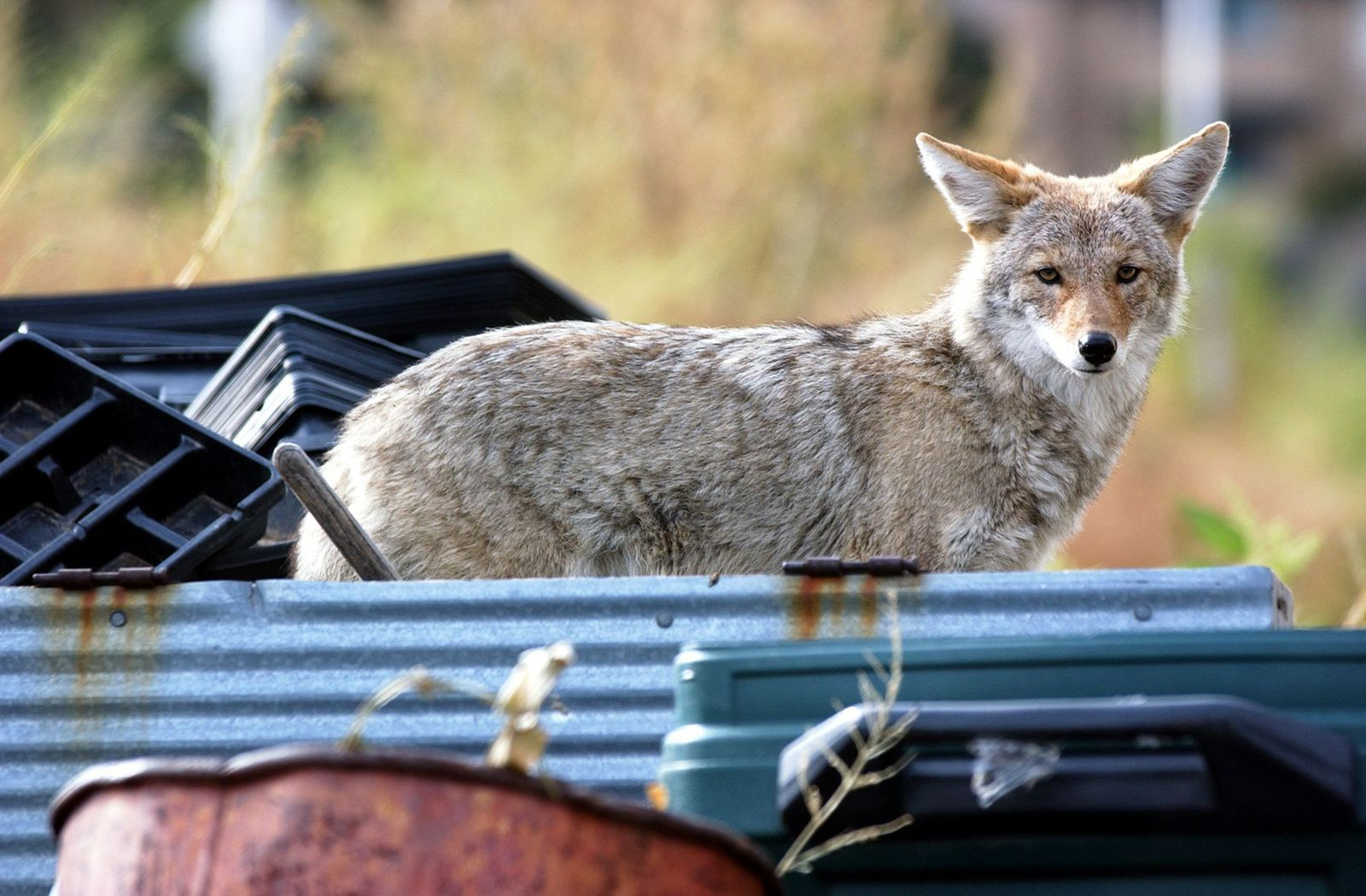 Urban Coyotes Eat A Lot of Garbage—And Cats in 2020