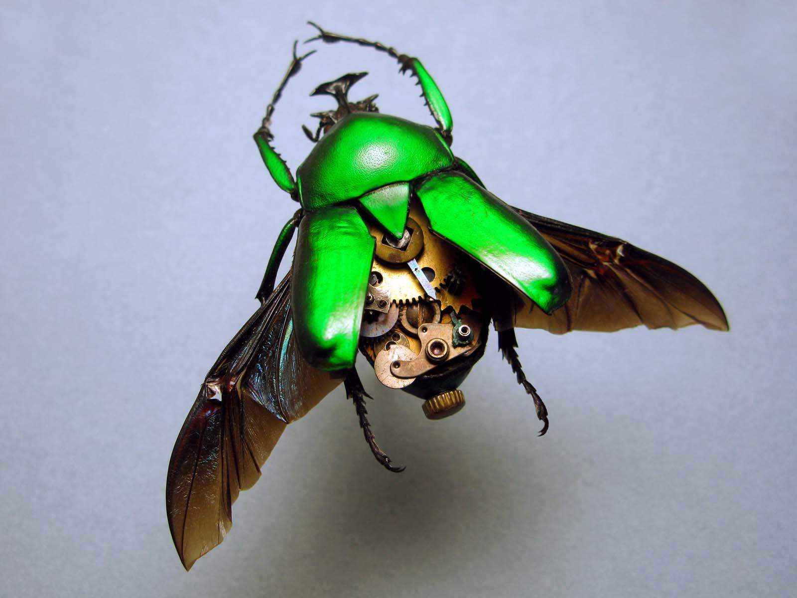 Cetonidae: Dicronorhina Micans
