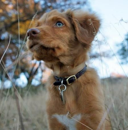 Ruddy The Duck Tolling Retriever Pictures 944765 Cute Dogs