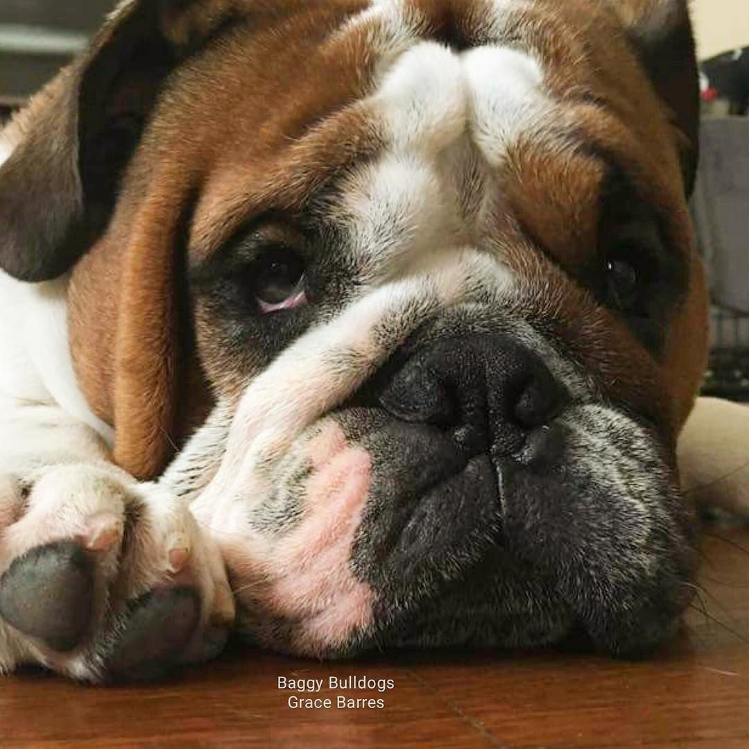 All About Bulldogs The Hague The Netherlands Bulldog