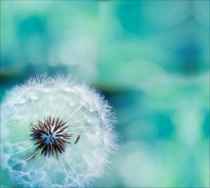 Dandelion Wallpaper Android Central Finding Beauty