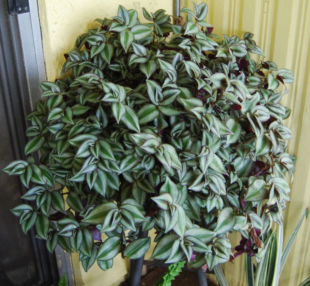 Top option tradescantia zebrina pendula wandering falbodistca s blog - Wandering jew plant name ...