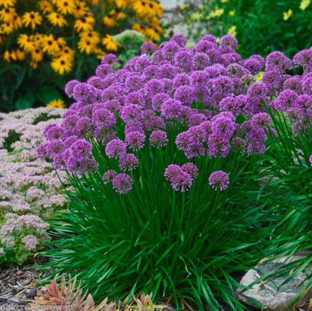 Beau Jardin Allium Millennium Is A Stunning New Perennial Ornamental Onion With Glossy Green Foliage 2 Globes Flowers Perennials Plants Planting Flowers