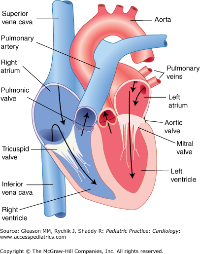 discover ideas about human heart diagram