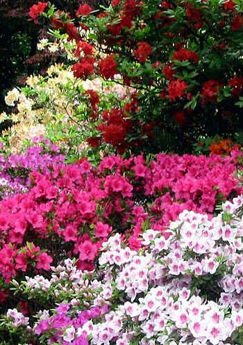 The Azalea Bush Is A Shallow Rooted Plant And It One Of