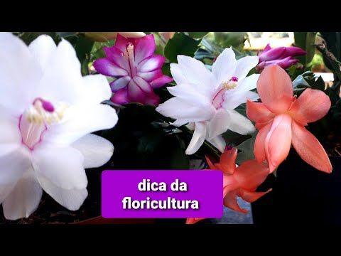 FLOR DE MAIO chega de perder/ dica da floricultura/como cuidar dela🏵🌷🌻🌺 - YouTube