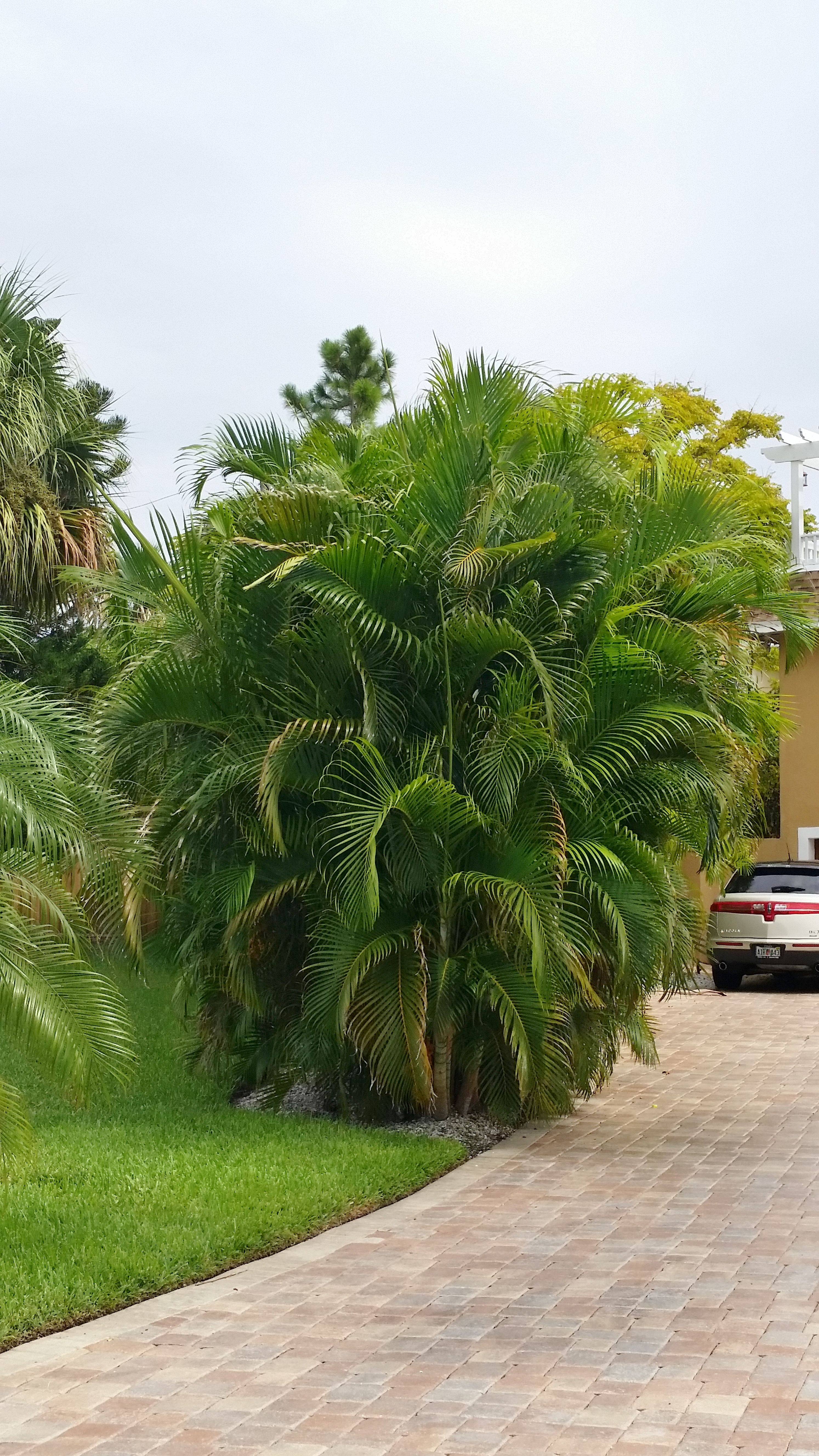 Palm Areca Dypsis Lutescens Areca Palm This Is A Gorgeous Multi