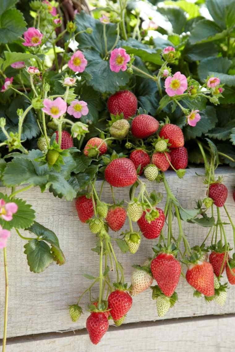 fraisier en pot conseil culture et plantation jardin. Black Bedroom Furniture Sets. Home Design Ideas