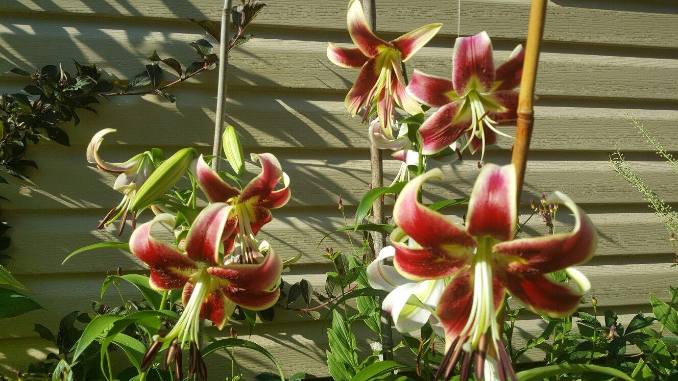 Sheherazade Oriental Lily   My Garden   Pinterest   Oriental lily ...