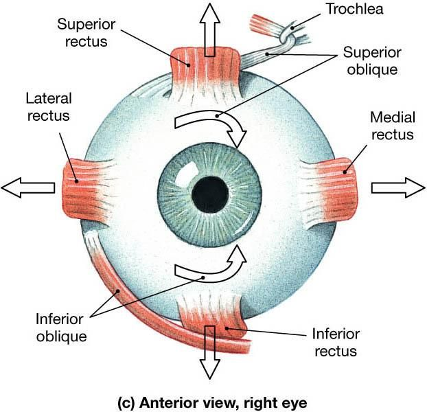 The Extrinsic Muscles Of The Eye Come From The Bones Of