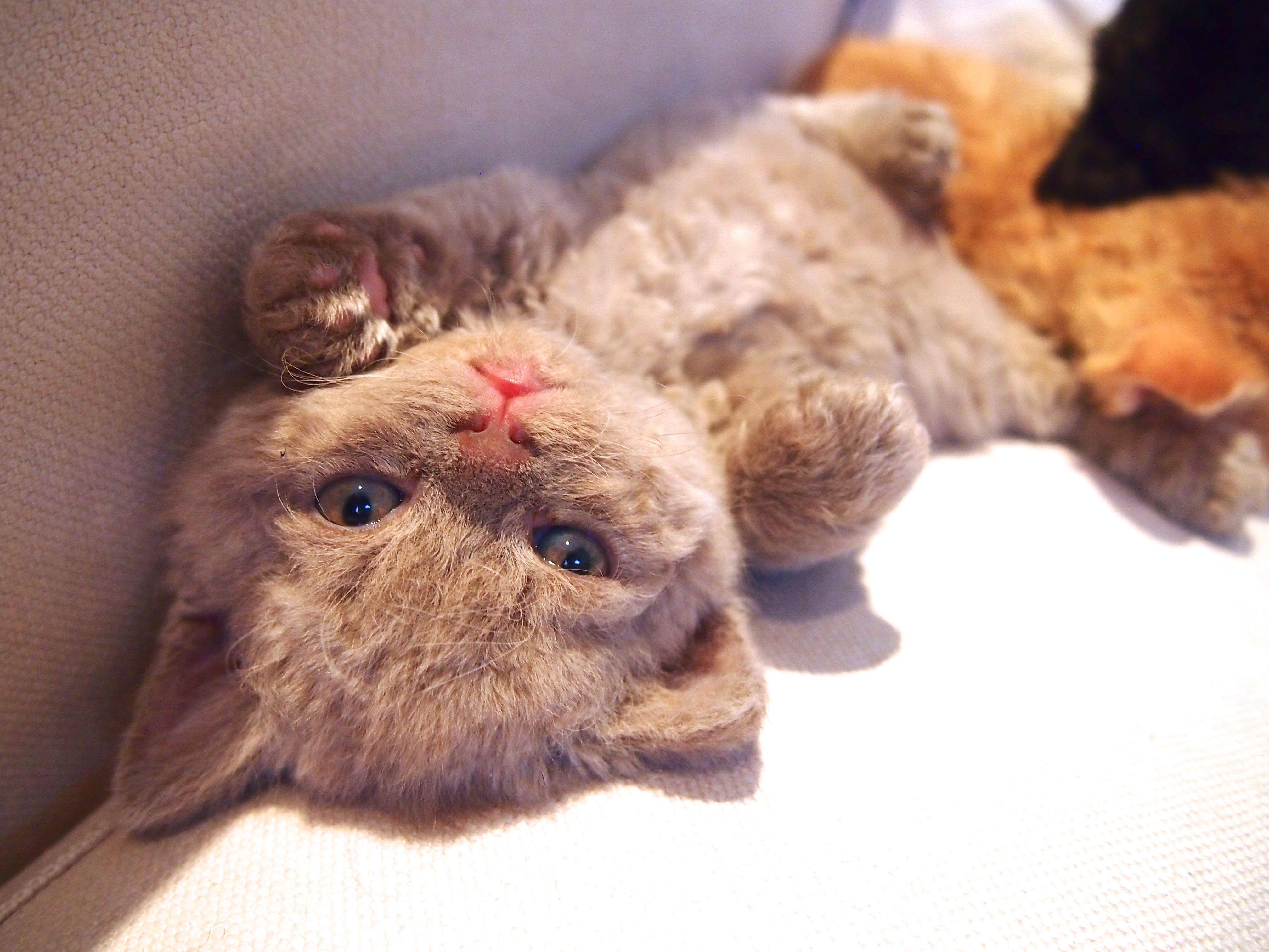 Curly Lamblike Noontide Floyd Lilac Selkirk Rex Kitten Selkirk Rex Kittens Kittens Cutest Cute Cats