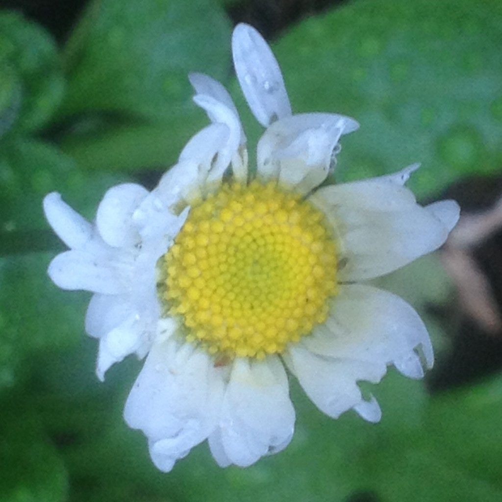 This was the single english daisy flower that bloomed for us on this was the single english daisy flower that bloomed for us on christmas day izmirmasajfo
