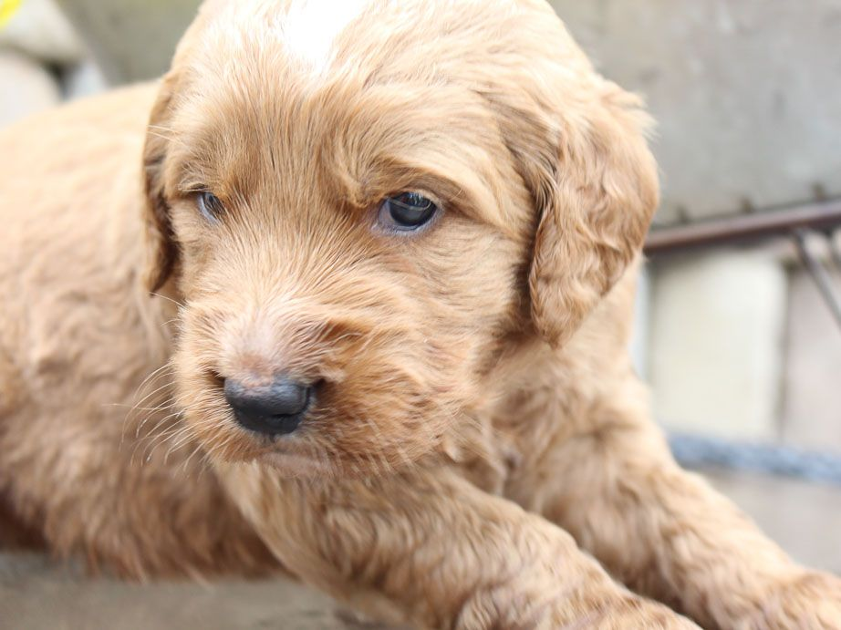 Goldendoodle for sale in New Haven, Indiana goldendoodle