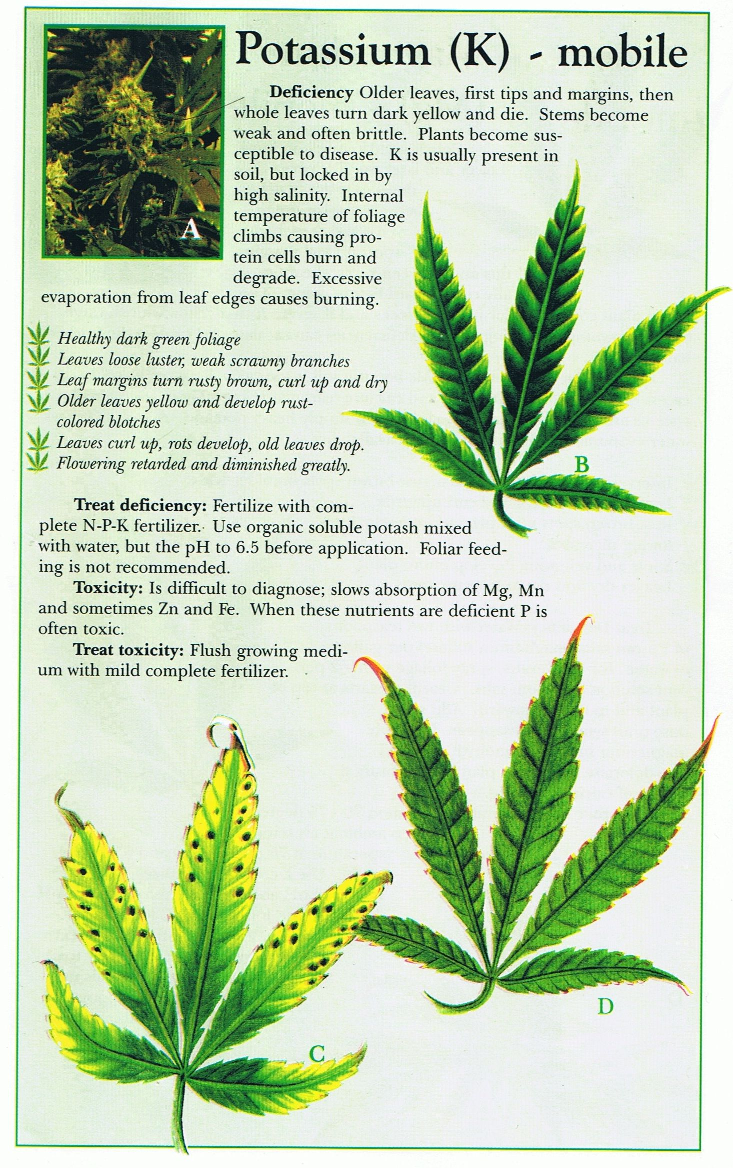 Cannabis deficiency guide marijuana weed problems leafs yellow how to tell if your plant is experiencing a deficiency in potassium marijuana cannabis nvjuhfo Image collections