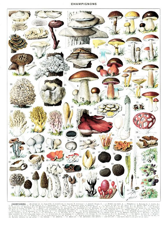 1936 Large vintage mushrooms poster print Antique mushroom ...