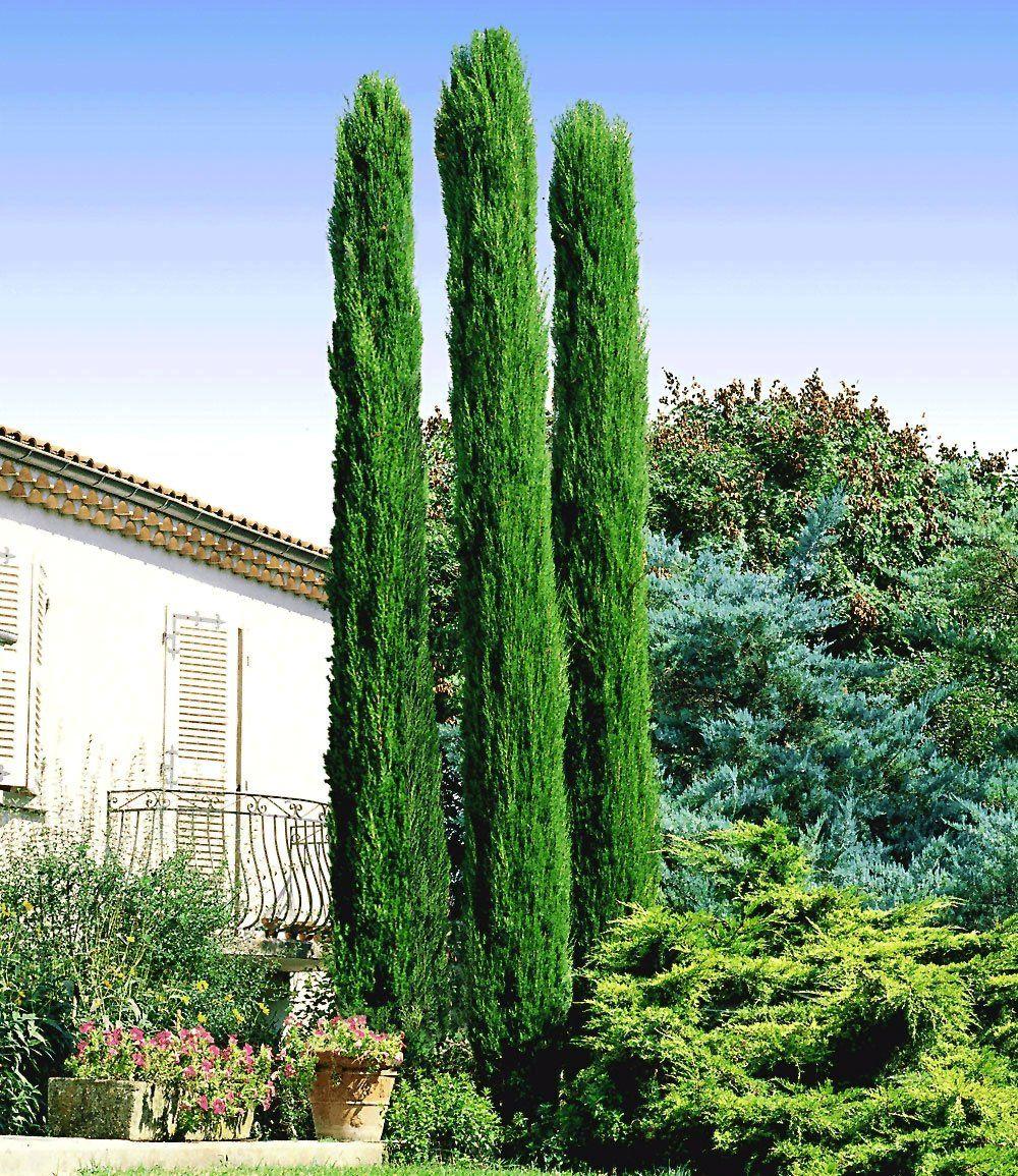 Echte Toskana Säulen Zypresse Garten Pinterest