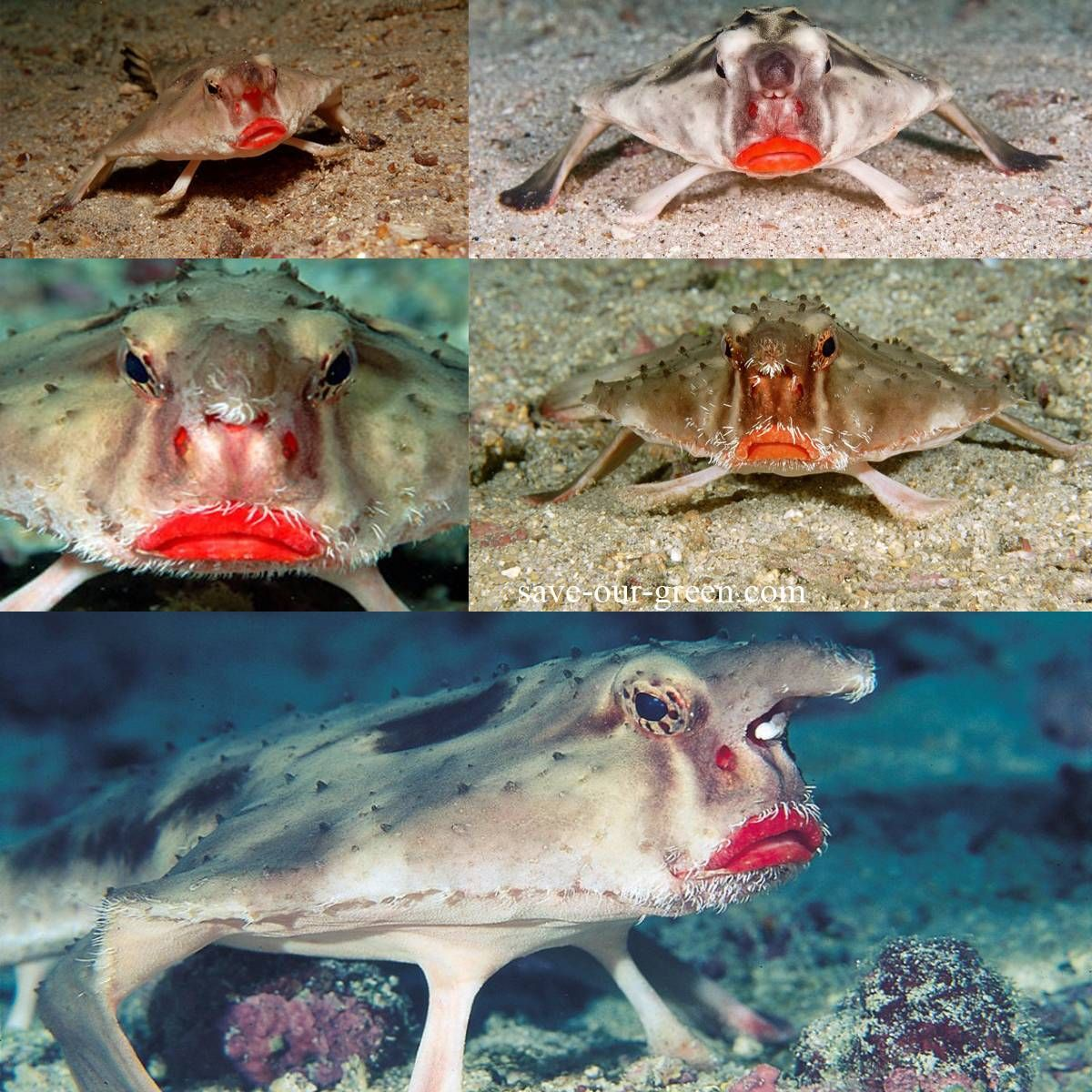 The Red Lipped Batfish Is A Weird Looking Fish Found In The