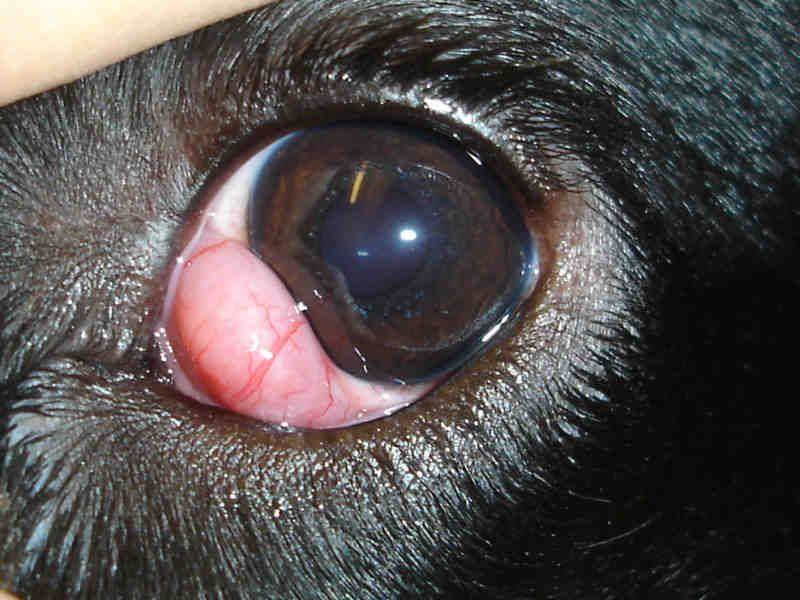 French Bulldog Cherry Eye What You Should Know About It French