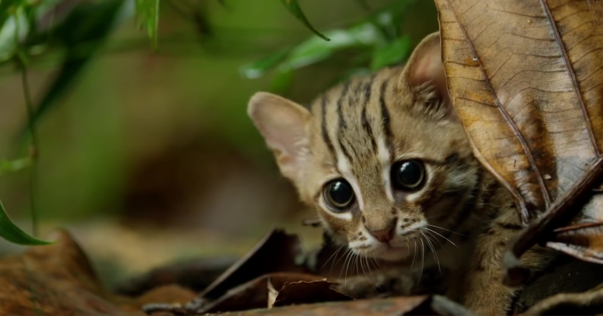 This Is The World's Tiniest Wild Cat, And It Might Be The