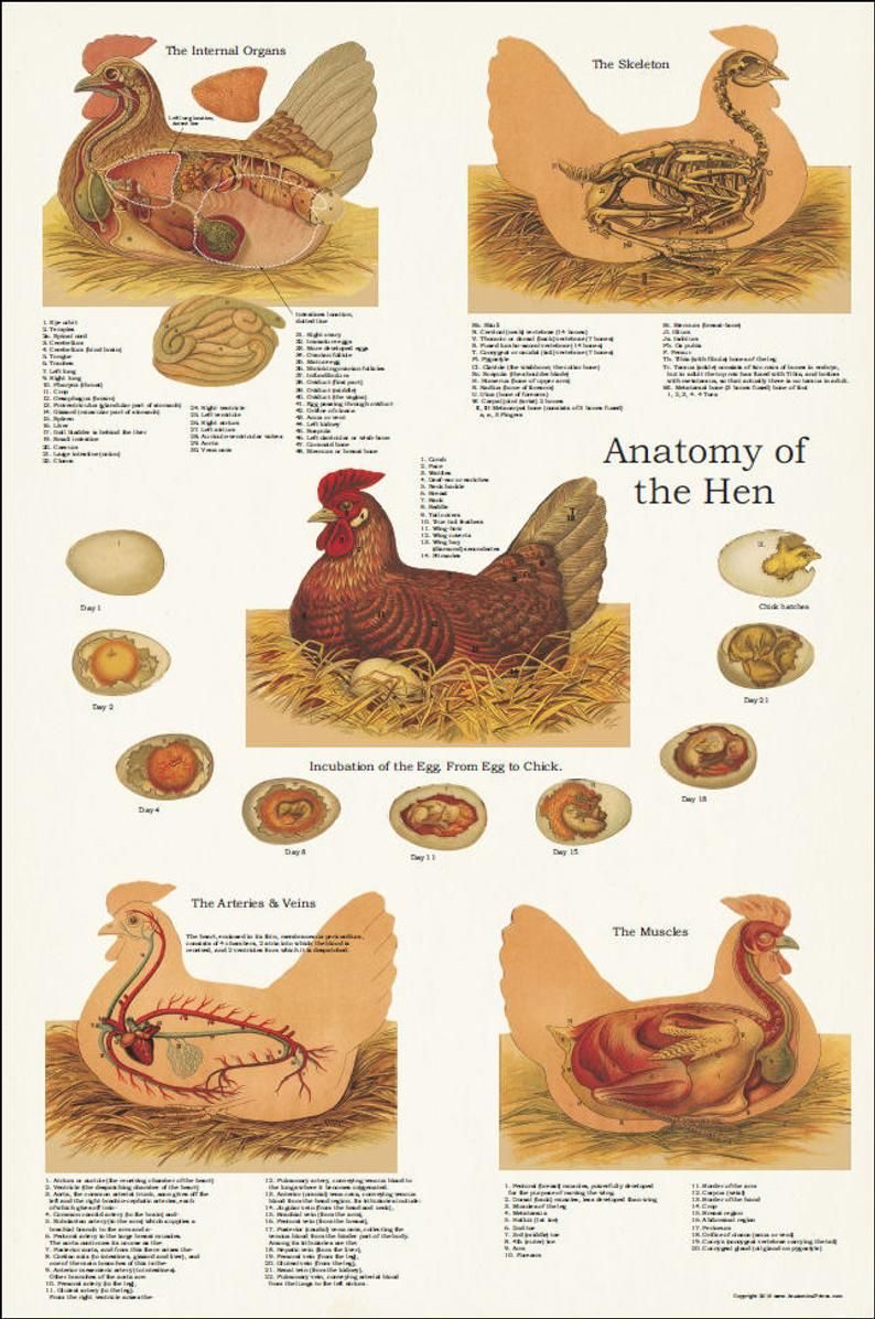 "Chicken Hen Muscle Skeletal Anatomy Poster 24"" X 36 ..."