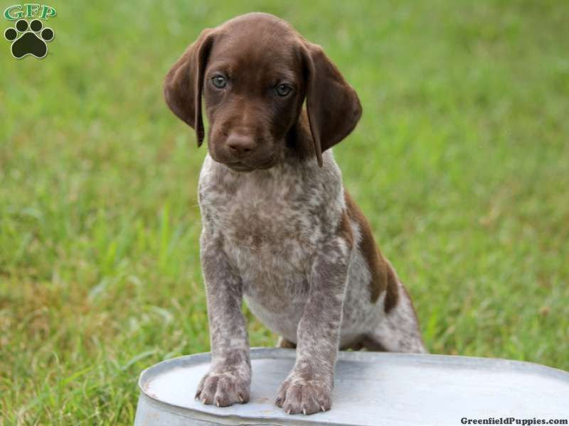 Chelsie german shorthaired pointer puppy for sale from
