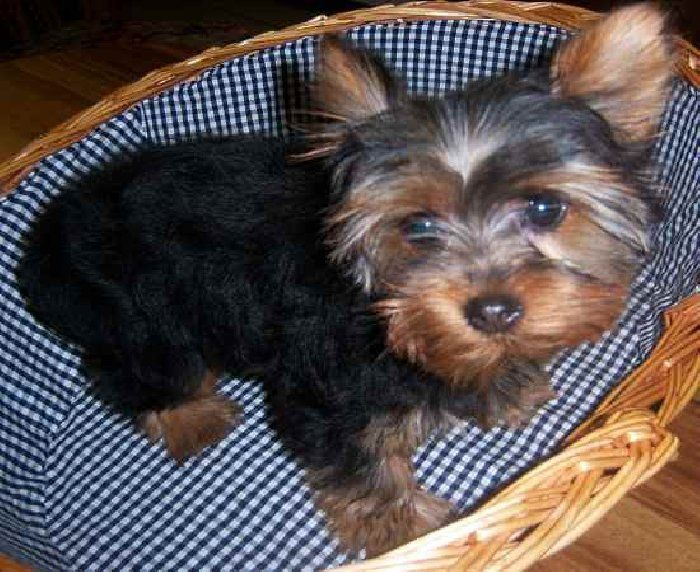 Adorable Yorkie From Indiana Yorkie Puppy Small Puppies Small Puppies For Sale