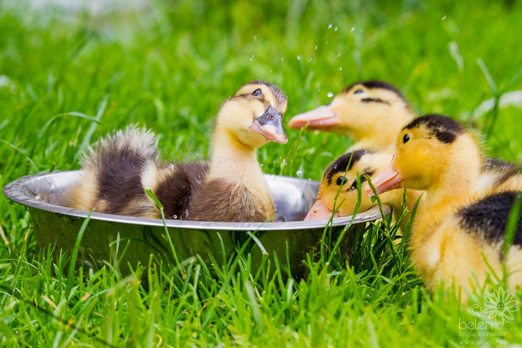 Hinny Ducklings Male Duck Pictures Of The Week Female