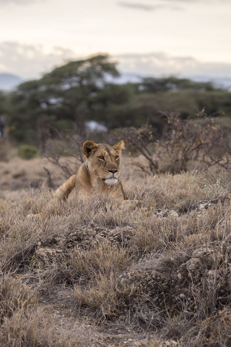 Free download of this photo: https://www.pexels.com/photo/lion-safari-wilderness-wildlife-28651 #desert #animal #africa