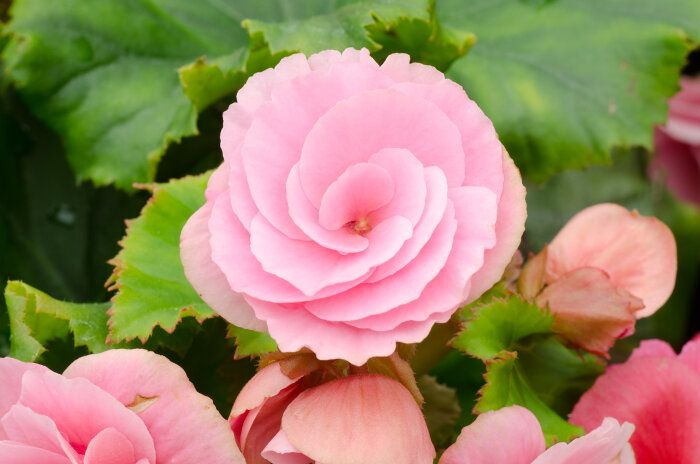 Begonia Flower Hardy 9 10 Hana Moto Flower Meanings Flowers Begonia