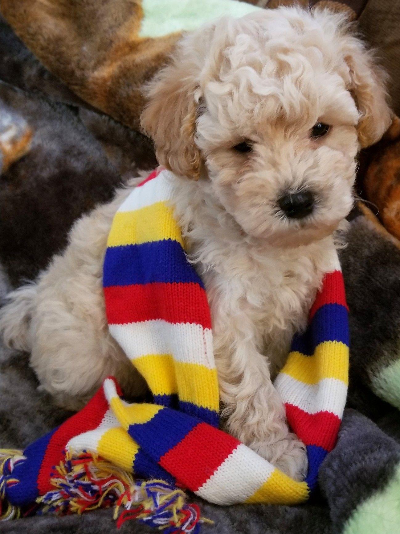 Maltipoo Puppy 2018 Johnsonsjewels Webs Com Maltipoo Puppies In Va Malti Poo Puppies Virginia Www J Maltipoo Puppy Maltipoo Puppies For Sale Maltese Poodle Mix