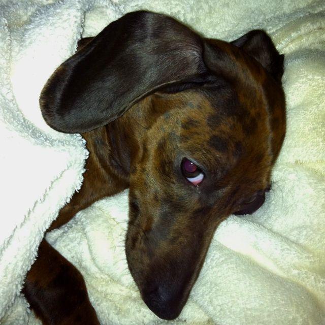 Looks Like Wrig Weenie Dogs Weiner Dog Dachshund Love