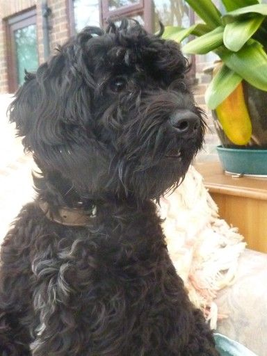 Archie 1 Year Old Male Poodle Cross Border Terrier Available For