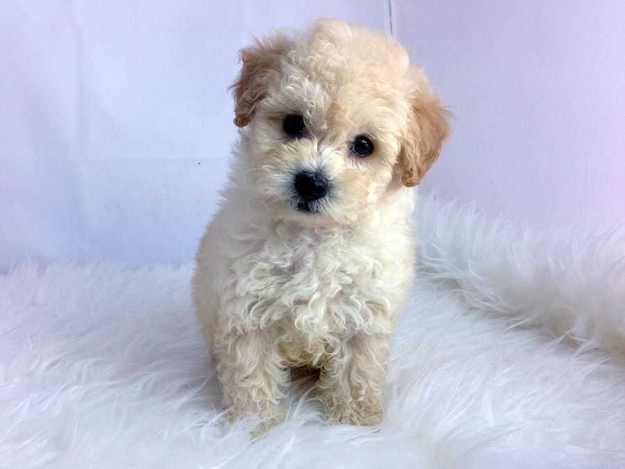 Teacup Maltipoo In Los Angeles Www Staryorkie Com 888 786 5252 Teacup Puppies Cute Dogs Teacup Maltipoo