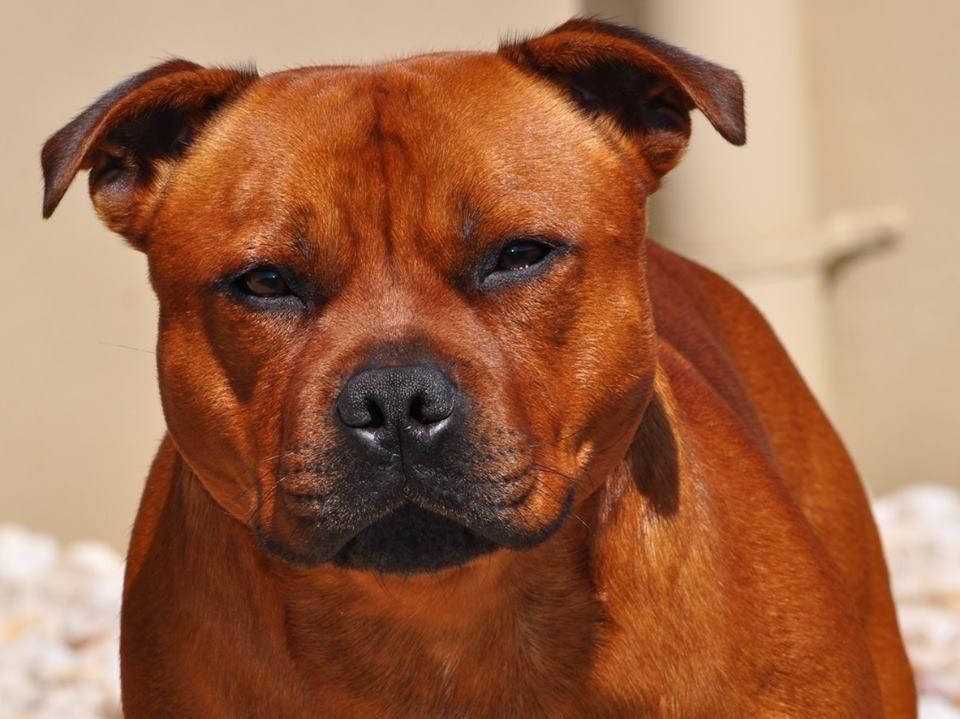 Pin by Kathryn Brightwell on Dogs Staffy bull terrier