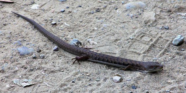 California Southern Alligator Lizard Elgaria Multicarinata Go