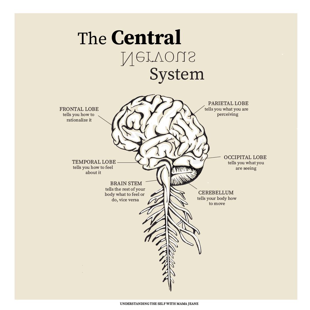 Central Nervous System Diagram Brain Digital Printable