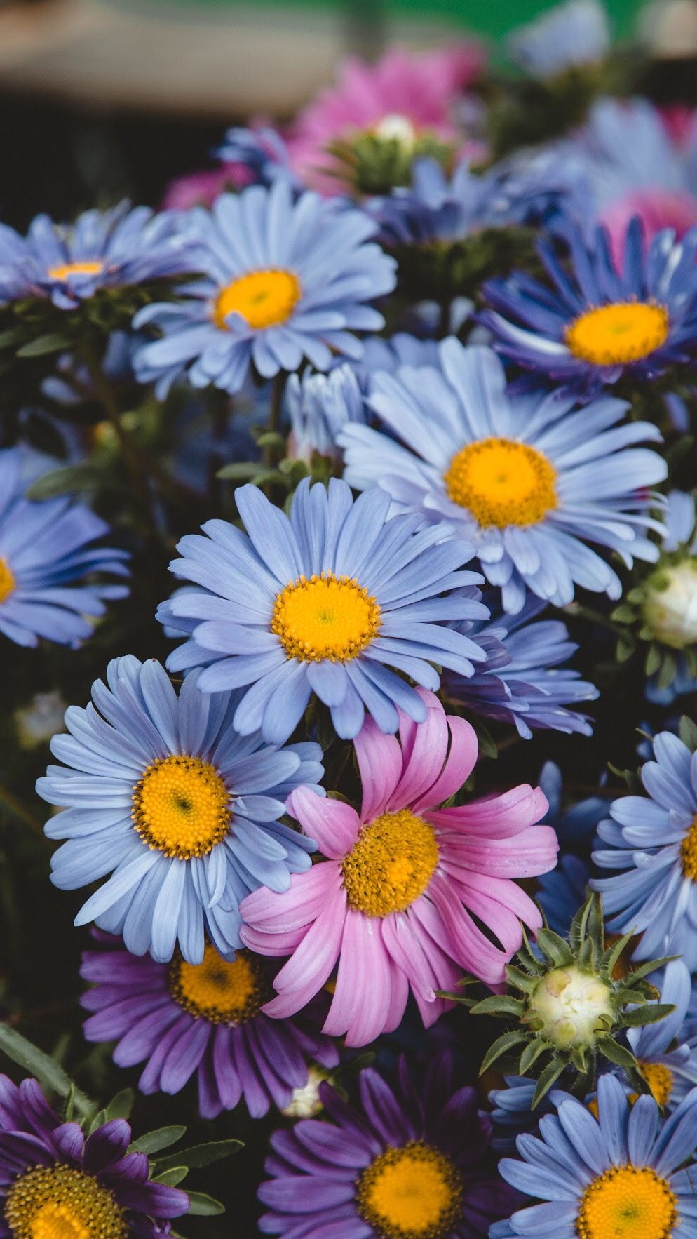 Pin by lanette preston on daisy crazy pinterest flowers flower pin by lanette preston on daisy crazy pinterest flowers flower and gardens izmirmasajfo